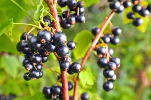 Schwarze Johannisbeere 'Ben Tirran' (S) - Ribes nigrum 'Ben Tirran' (S)