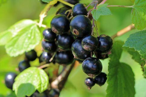 Schwarze Johannisbeere 'Dr. Bauer's Ometa' ® - Ribes nigrum 'Dr. Bauer's Ometa' ®