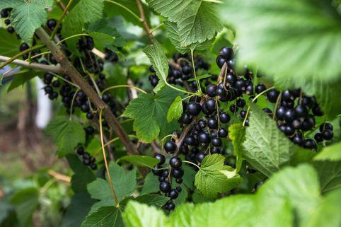 Schwarze Johannisbeere 'Rosenthals Langtraubige' - Ribes nigrum 'Rosenthals Langtraubige'