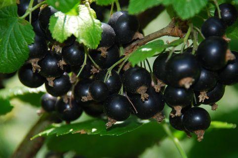 Schwarze Johannisbeere 'Titania' (S) - Ribes nigrum 'Titania' (S)