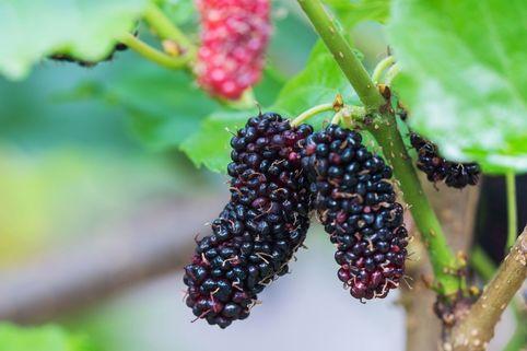 Schwarze Maulbeere 'Repsime' - Morus nigra 'Repsime'