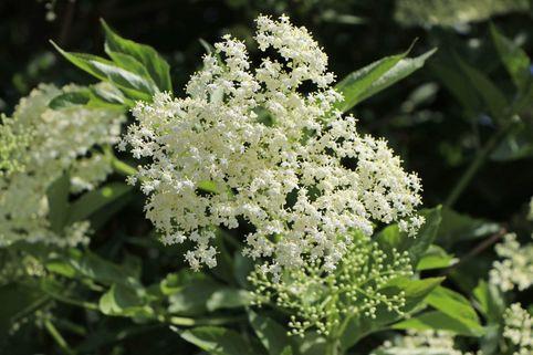 Weißer Holunder 'Albida' - Sambucus nigra 'Albida'