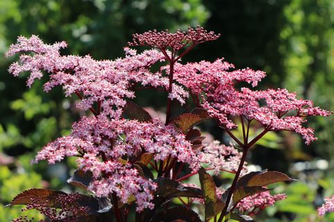 Schwarzer Holunder 'Black Beauty'  ® - Sambucus nigra 'Black Beauty'  ®