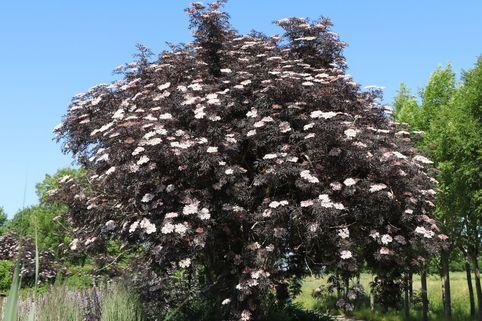 Schwarzer Holunder 'Black Lace'  ® - Sambucus nigra 'Black Lace'  ®