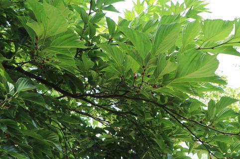 Schwarzfruchtige Maulbeere 'Collier' - Morus 'Collier'