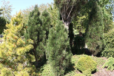 Schwarzkiefer 'Green Tower' - Pinus nigra 'Green Tower'