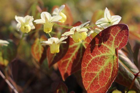Schwefelfarbige Elfenblume 'Sulphureum' - Epimedium x versicolor 'Sulphureum'
