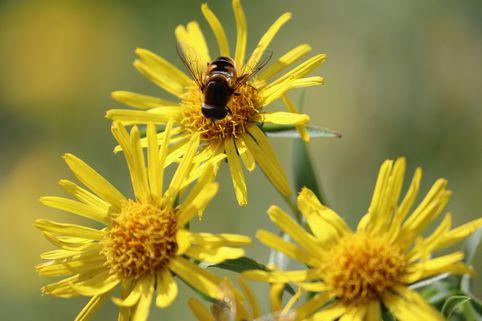 Schwertblättriger Alant 'Compacta' - Inula ensifolia 'Compacta'