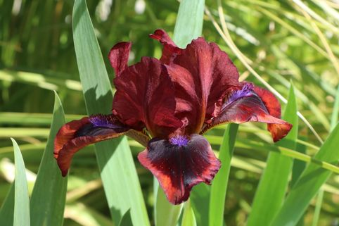 Schwertlilie 'Snugglebug' - Iris x barbata-nana 'Snugglebug'