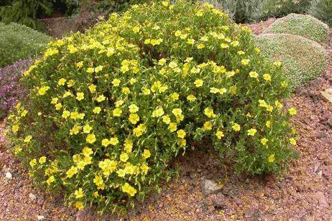 Seealpen-Sonnenröschen - Helianthemum lunulatum