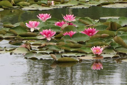 Seerose 'Attraction' - Nymphaea x cultorum 'Attraction'