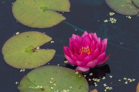 Seerose 'James Brydon' - Nymphaea x cultorum 'James Brydon'