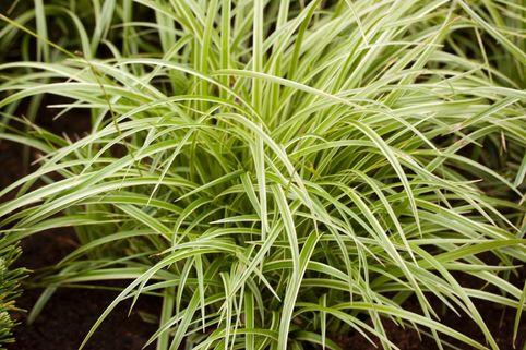 Segge 'Silver Sceptre' - Carex morrowii 'Silver Sceptre'