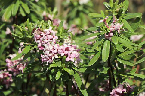 Seidelbast 'Pink Eternal Fragrance' - Daphne x transatlantica 'Pink Eternal Fragrance'