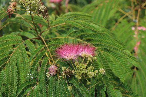 Seidenbaum 'Ombrella' - Albizia julibrissin 'Ombrella'