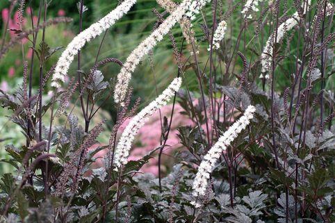 Juli-Silberkerze 'Black Negligee' - Cimicifuga racemosa 'Black Negligee'