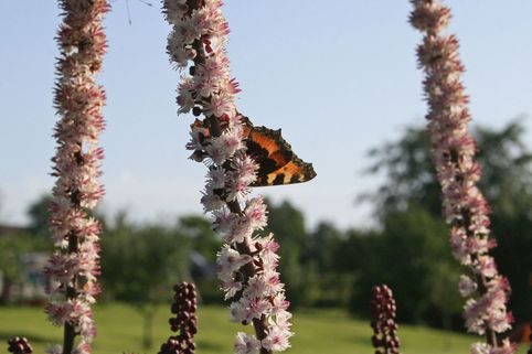 September Silberkerze - Cimicifuga ramosa 'Atropurpurea'