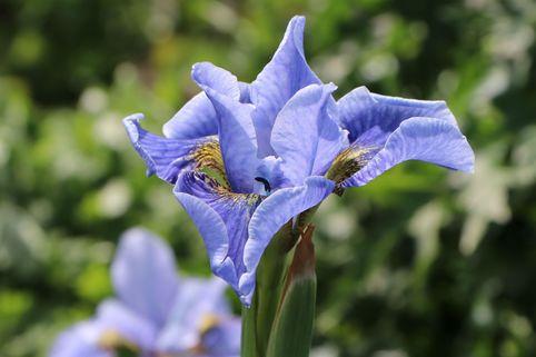 Sibirische Schwertlilie 'Cambridge' - Iris sibirica 'Cambridge'