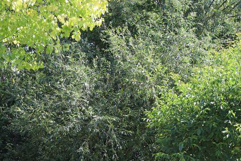 Silber-Weide / Kopfweide - Salix alba