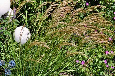 Silberährengras / Ränkegras - Achnatherum calamagrostis