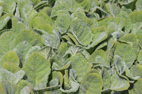 Silberblatt Salbei - Salvia argentea