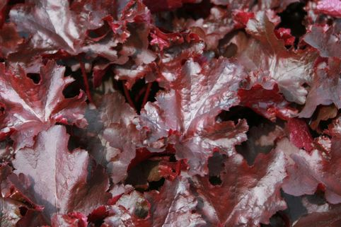 Silberglöckchen 'Black Beauty' - Heuchera micrantha 'Black Beauty'