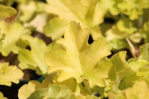 Silberglöckchen 'Lime Marmalade' - Heuchera villosa 'Lime Marmalade'