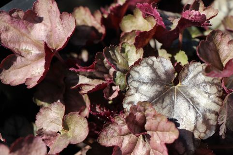 Silberglöckchen 'Silver Light' - Heuchera x cultorum 'Silver Light'