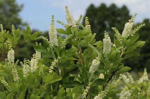 Silberkerzenstrauch / Zimterle / Scheineller - Clethra alnifolia