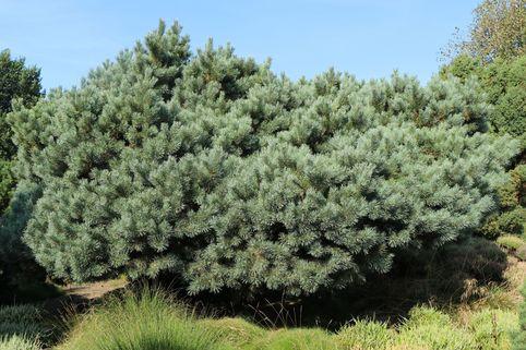 Silberkiefer / Strauch-Wald-Kiefer - Pinus sylvestris 'Watereri'
