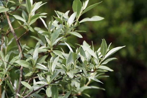 Silberlaubige Ölweide 'Quicksilver' - Elaeagnus angustifolia 'Quicksilver'