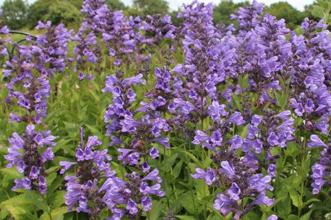 Sitzende Katzenminze 'Blue Dragon' - Nepeta yunnanensis 'Blue Dragon'