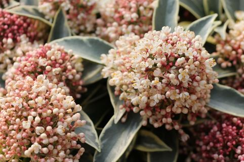 Japanische Blütenskimmie 'Magic Marlot' - Skimmia japonica 'Magic Marlot'