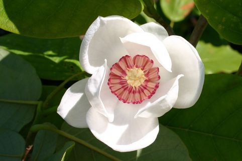 Sommer-Magnolie - Magnolia sieboldii