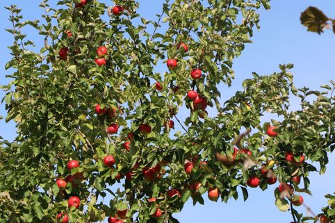 Sommerapfel 'Discovery' - Malus 'Discovery'