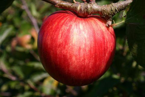 Sommerapfel 'Piros' ® - Malus 'Piros' ®