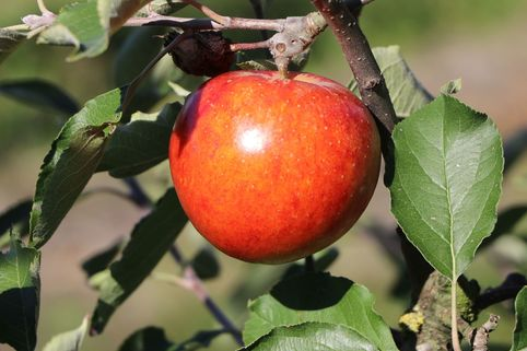 Sommerapfel 'Roter James Grieve' / 'Rubin' - Malus 'Roter James Grieve' / 'Rubin'