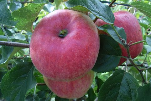 Sommerapfel 'Stark Earliest' - Malus 'Stark Earliest'