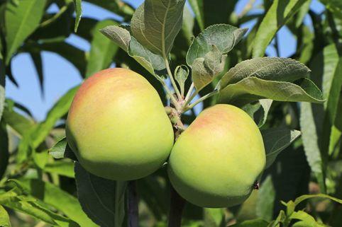 Sommerapfel 'Weißer Klarapfel' - Malus 'Weißer Klarapfel'