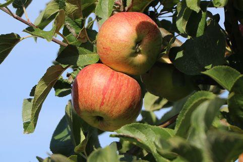 Sommerapfel 'Zimtapfel' - Malus 'Zimtapfel'