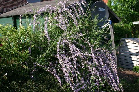 Sommerflieder / Hängeflieder / Schmetterlingsstrauch - Buddleja alternifolia