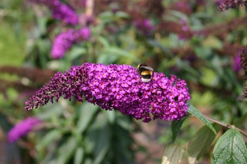 Sommerflieder / Schmetterlingsstrauch 'African Queen' - Buddleja davidii 'African Queen'