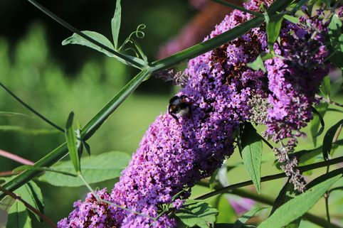 Sommerflieder / Schmetterlingsstrauch 'Border Beauty' - Buddleja davidii 'Border Beauty'