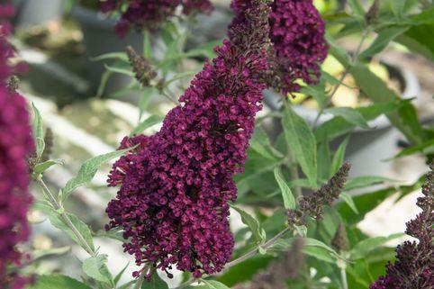 Sommerflieder / Schmetterlingsstrauch Buzz ® 'Wine' - Buddleja davidii Buzz ® 'Wine'