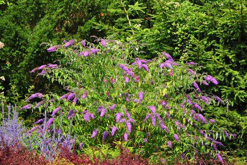 Sommerflieder / Schmetterlingsstrauch 'Camberwell Beauty' / 'Camkeep' - Buddleja davidii 'Camberwell Beauty'