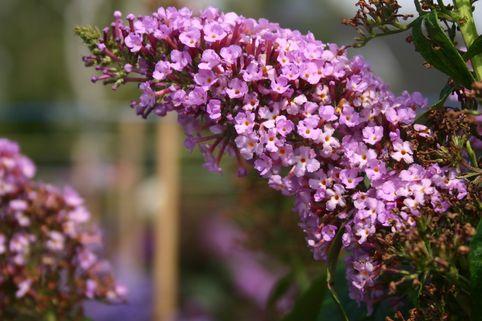 Sommerflieder / Schmetterlingsstrauch 'Charming' - Buddleja davidii 'Charming'