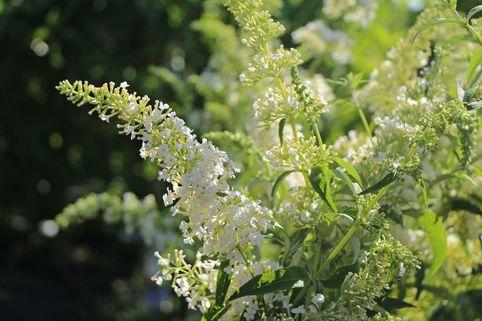 Sommerflieder / Schmetterlingsstrauch 'Dart's Ornamental White' - Buddleja davidii 'Dart's Ornamental White'