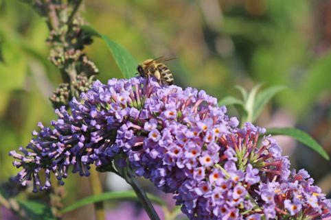 Sommerflieder / Schmetterlingsstrauch 'Dart's Papillon Blue' - Buddleja davidii 'Dart's Papillon Blue'