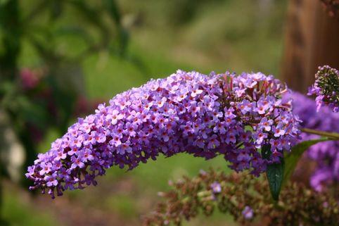 Sommerflieder / Schmetterlingsstrauch 'Dart's Purple Rain' - Buddleja davidii 'Dart's Purple Rain'