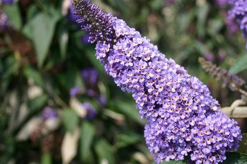 Sommerflieder / Schmetterlingsstrauch 'Ellen's Blue' - Buddleja davidii 'Ellen's Blue'